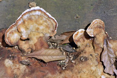 Fungus order Aphyllopholares known as Royalty Free Stock Photography