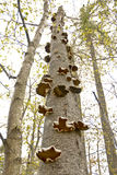 Fungus rising. Very tall standing dead birch tree covered in mushroom like fungal growths Royalty Free Stock Image
