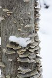 Fungus in the snow royalty free stock photo