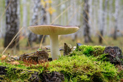 Fungus on a stump. One mushroom on wood tree stump in autumn Stock Images