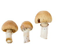 Fungus. Three plate of mushrooms on a white background Stock Images