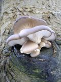 Fungus On A Tree Stock Photo