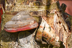 Fungus on a tree Royalty Free Stock Photography