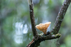 Fungus on Tree. A gentle mushroom grows out of a tree branch in a Florida wetland area royalty free stock images