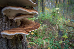 Fungus in tree Royalty Free Stock Photography