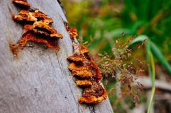 Fungus on a tree near a lake in Northern British Columbia. Fungus growing on a tree near a lake in Northern British Columbia stock image