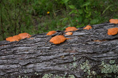Fungus on tree Stock Images