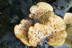 Fungus On Tree Stump Royalty Free Stock Images