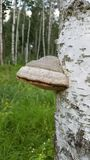 Fungus on a tree trunk stock photo