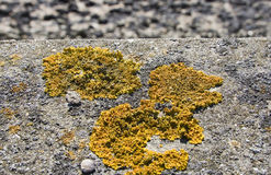 Fungus on wall. Bright yellow fungus growing in small circles on a stone wall near the sea stock photography