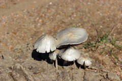 Fungus. Withe fungus up manure Stock Photography