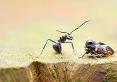 Funil da formiga e da folha Foto de Stock Royalty Free