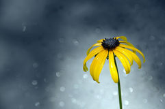 Funkelnder Hintergrund der einzelnen Rudbeckiablume Lizenzfreie Stockbilder