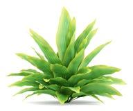 Funkia arbusto isolado no branco Imagem de Stock