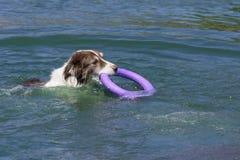 Funktionsduglig hundkapplöpning Arkivfoton