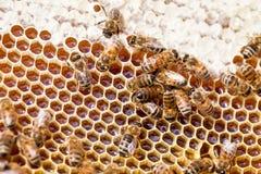 Funktionsdugliga honungbin Arkivfoton