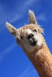 Funky alpaca. Cute animal wants to play Stock Photo