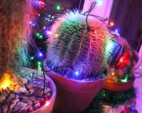 Funky cacti decorated for Christmas. Potted cacti decorated with Christmas fairy lights stock photo