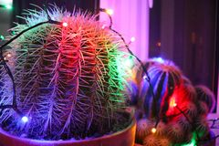 Funky Christmas lights on cacti. Potted cacti decorated with funky coloured Christmas lights stock image