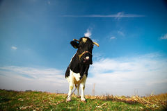 Funky Cow. It's a funky cow in Poland Royalty Free Stock Photography