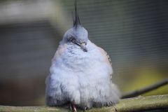 Funky pidgeon. A funky pidgeon with crest stock photos