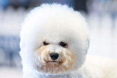 Funky Poodle white dog portrait looking at you Royalty Free Stock Image