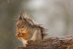 Funky punky squirrel Royalty Free Stock Image