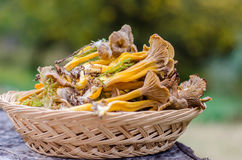 Funnel chanterelle in basket Royalty Free Stock Photo