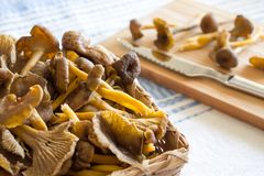 Funnel Chanterelle in a basket stock photography