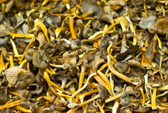Funnel chanterelles Stock Image