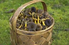 Funnel chanterelles Stock Photo