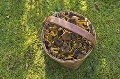 Funnel chanterelles Royalty Free Stock Photos
