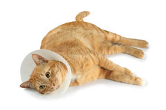 Funnel collar cat Royalty Free Stock Photography