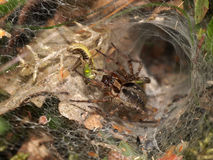 Funnel spider Stock Photo