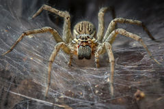 Funnel Spider Macro Royalty Free Stock Image