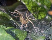 Funnel Weaver Spider, Agelenopsis Stock Photography