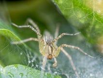 Funnel Weaver Spider, Agelenopsis Stock Image