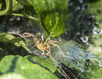 Funnel Weaver Spider, Agelenopsis Royalty Free Stock Image