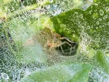 Funnel Weaver Spider, Agelenopsis Stock Photo