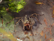 Funnel web Spider. Funnel Web (or Labyrinthic) Spider guarding it's funnel entrance with prey on it's fangs. Agelena Labyrinthica Royalty Free Stock Images