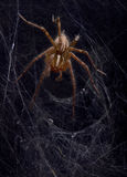 Funnel web spider Royalty Free Stock Images