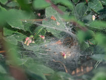 Funnel-web spider, Agelena labyrinthica Royalty Free Stock Image