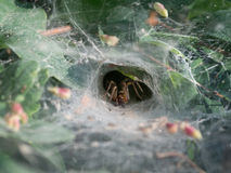 Funnel-web spider, Agelena labyrinthica. Funnel-web spider - Agelena labyrinthica Royalty Free Stock Photos