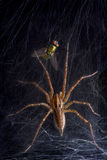 Funnel web spider and fly. A funnel web spider is moving toward a fly in his web Royalty Free Stock Image