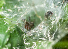 Funnel-web spider Stock Images