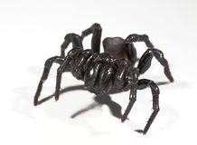 Funnel web spider. A funnel web spider on white Royalty Free Stock Images