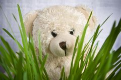 Funny. Soft toy the bear on the green grass isolated Stock Photography