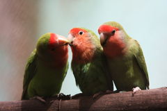 Funny. Two parrots are kissing each other Stock Image
