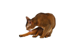 Funny Abyssinian Cat lick fur isolated on White Stock Photo