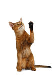 Funny Abyssinian Cat Sit, Curiously Looking and Raising up paw Stock Images